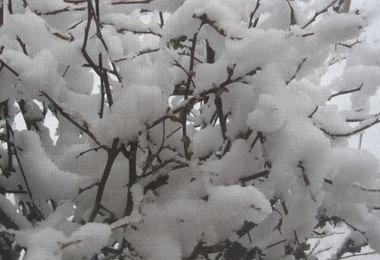 Snowdaygardenquince